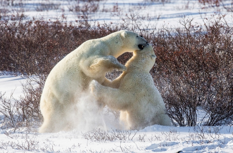 How long do polar bears live in the wild
