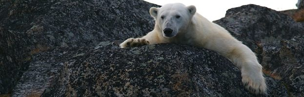 Polar Bear Behavior