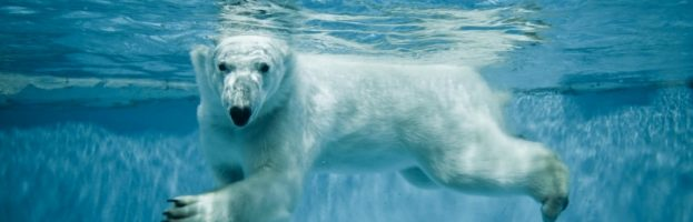 Everything You Need To Know About Polar Bear Swimming