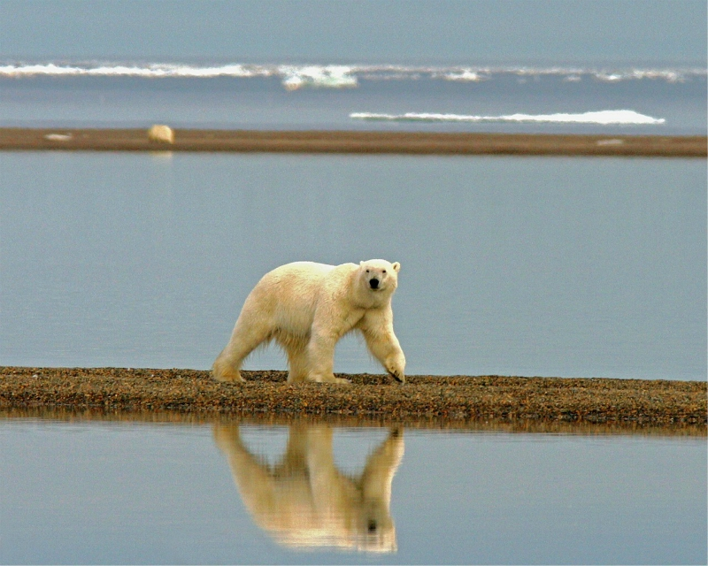 Polar Bears Live Alone