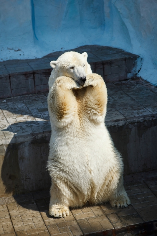 Polar bear lifespan in captivity