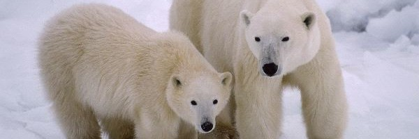 Polar Bear Mother and Young