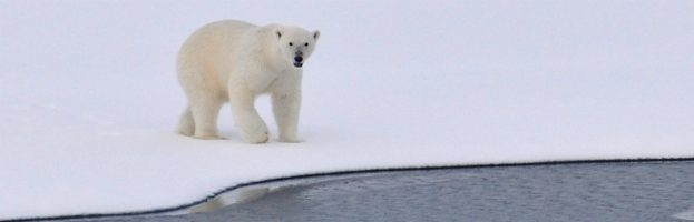 Where Can I See Polar Bears In The Wild?